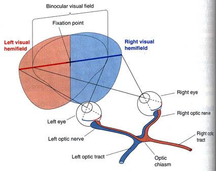 Visual Fields, Fig 10.3, Neuroscience; Bear, Connors, Paradiso